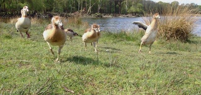 Family of Egyptian Geese, Richmond Park