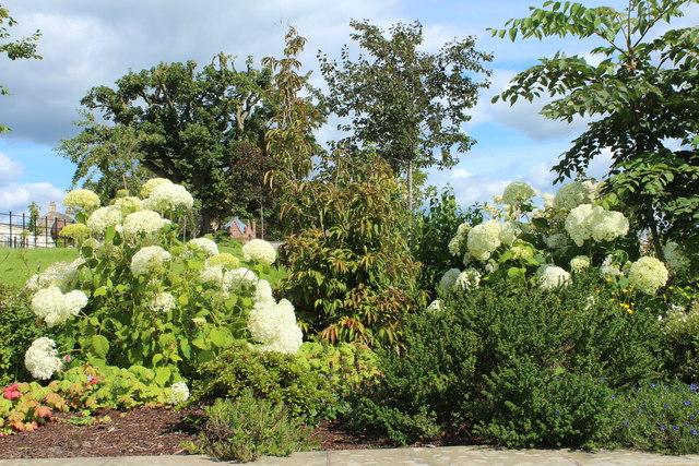 Hydrangea, Queen Elizabeth Walled Garden