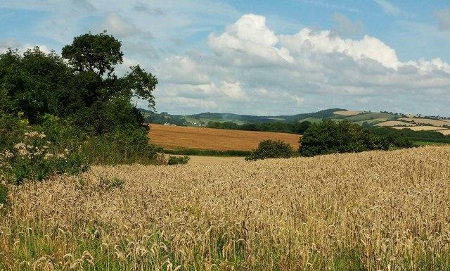 Wheat near Bamfield House