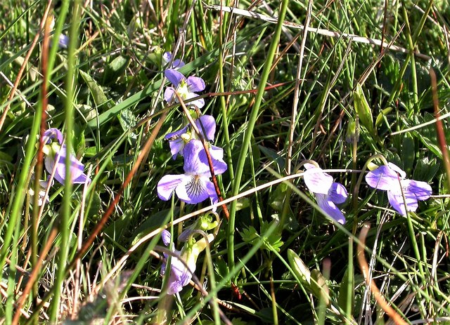 Heath dog-violet, Holman Wood Field, Brede High Woods