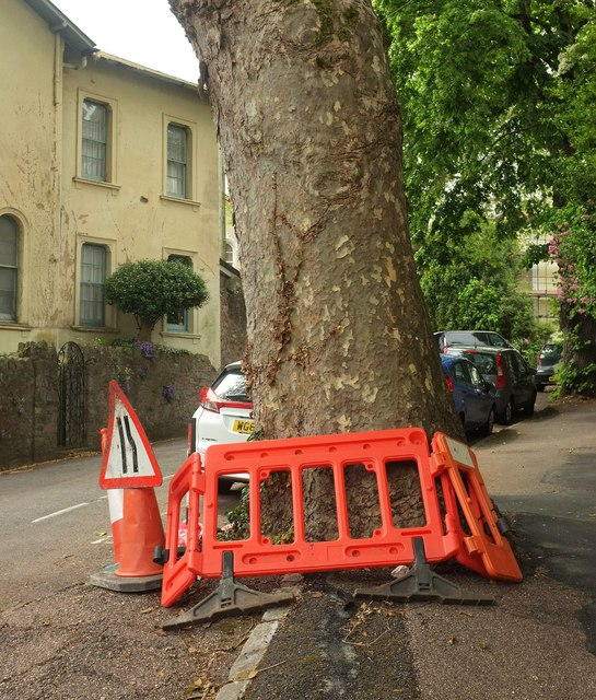 Protected plane tree, Cleveland Road, Torquay