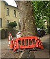 SX9064 : Protected plane tree, Cleveland Road, Torquay by Derek Harper