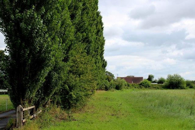 Line of Poplars at Sugar Hill Farm