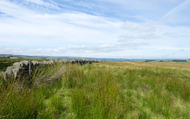 Rushes on moorland beside dry stone wall