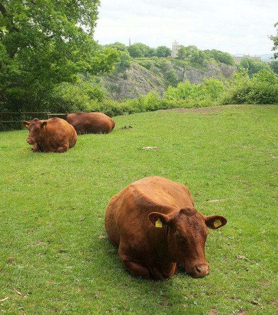 Cattle, Leigh Woods