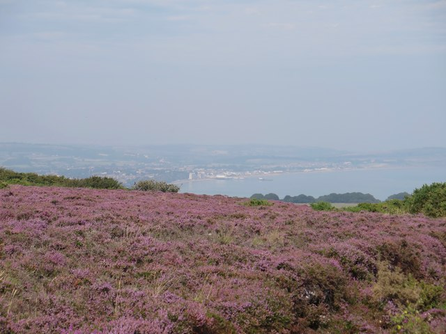 Heather, Luccombe Down
