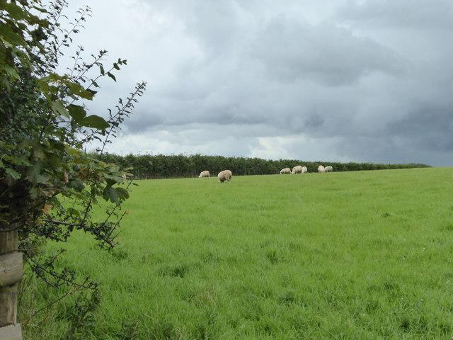Sheep grazing near Smith's Tenement
