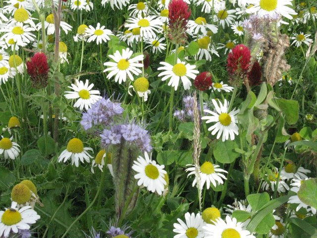 Field margin flowers at Craigrothie