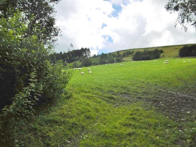 Pentre, sheep grazing