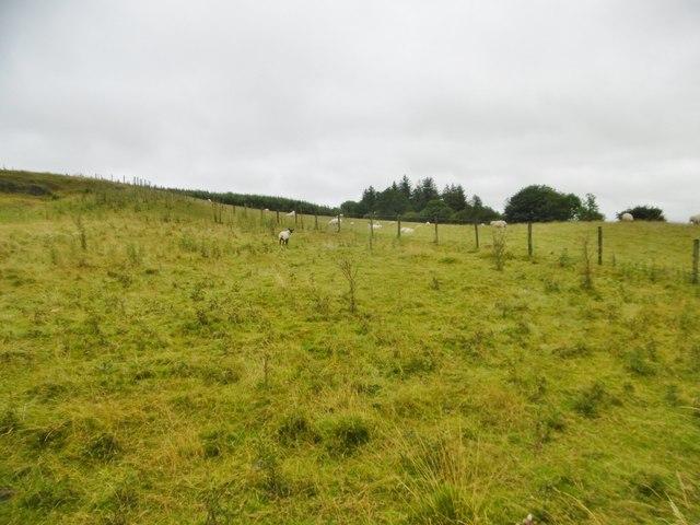 Craignant, sheep grazing