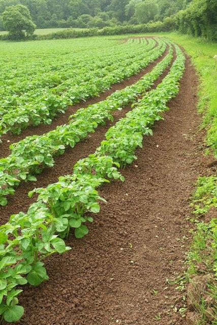 Potato crop by the Macmillan Way West