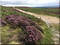 SK2781 : Heather in flower on the Houndkirk Road by Graham Hogg