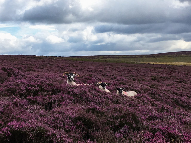 Sheep among the heather
