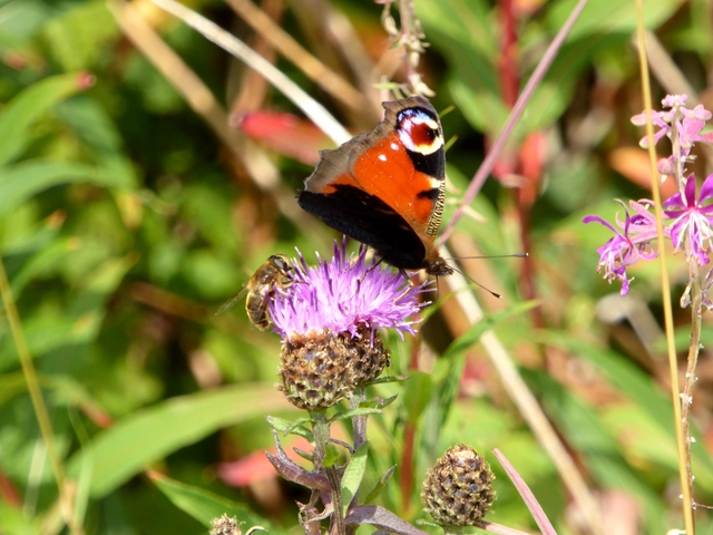 Peacock butterfly (and honey bee) on a Knapweed flower