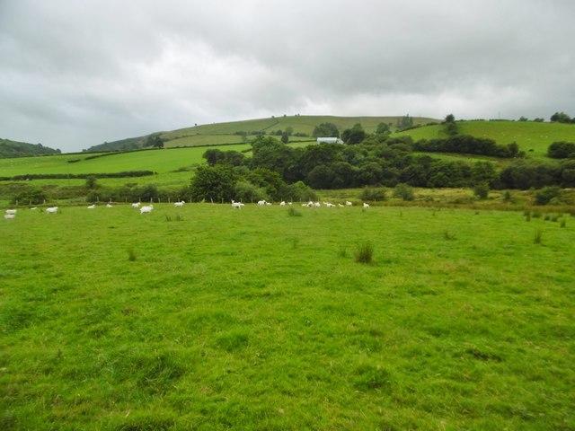 Tyn-y-Fridd, sheep grazing