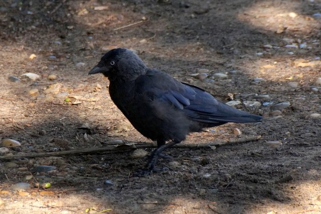 Jackdaw (Corvus monedula), Queen's Road car park, Richmond Park