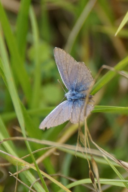 Common Blue (Polyommatus icarus), Box Hill