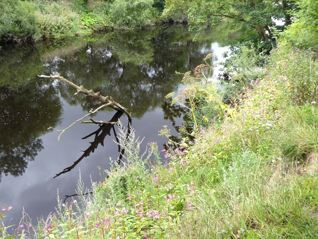 Giant Hogweed on the banks of the River Tees