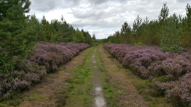 Footpath bordered by heather at Broomleyfell Plantation