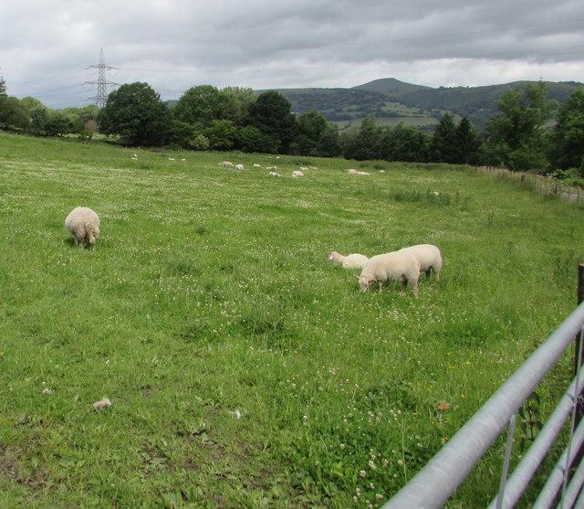 Sheep in a Llanfoist field