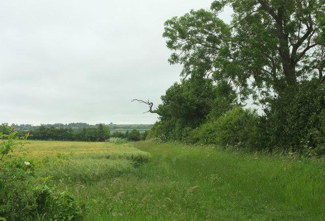 Barley by Ridgeway Lane