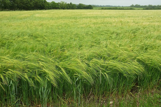 Barley near Lytes Cary