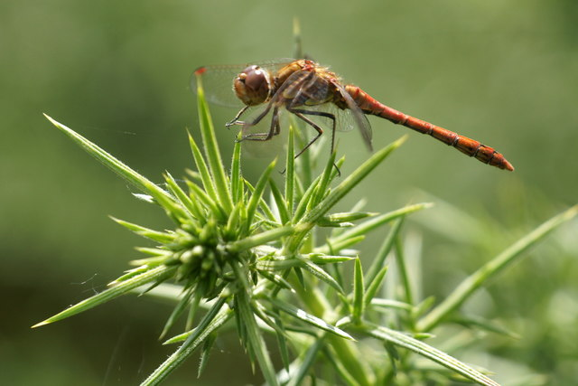 Common Darter (Sympetrum striolatum), Chobham Common