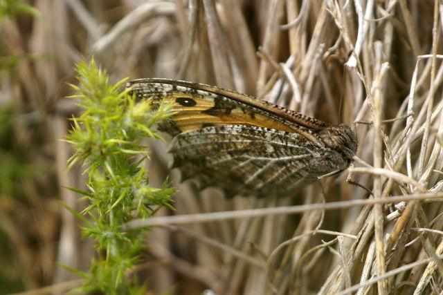 Grayling (Hipparchia semele), Chobham Common