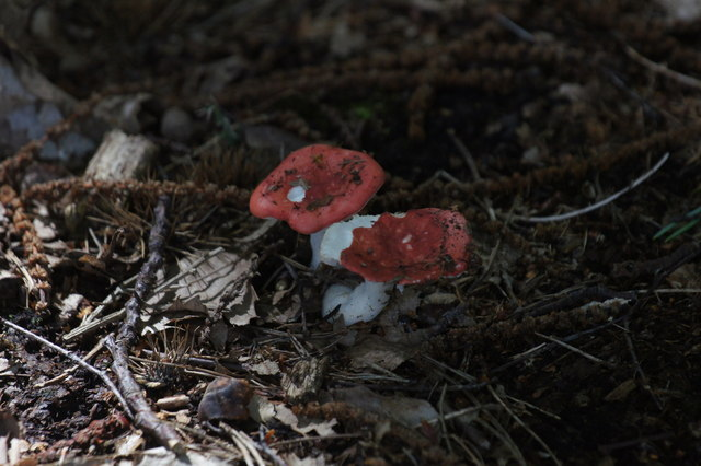 Toadstools in Roundpond Clump, Chobham Common