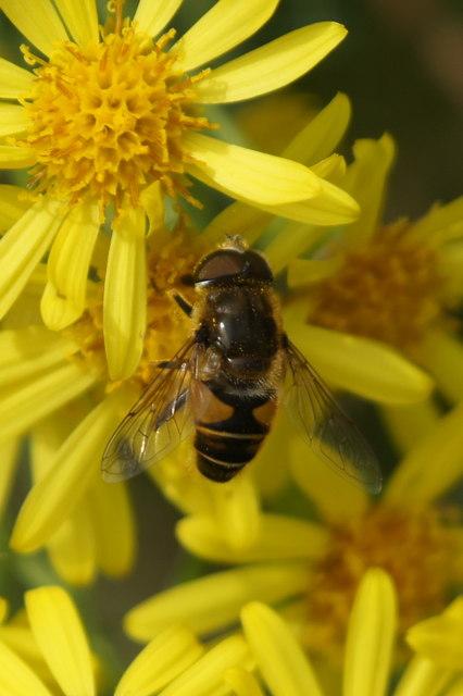 The hoverfly Eristalis nemorum, Chobham Common