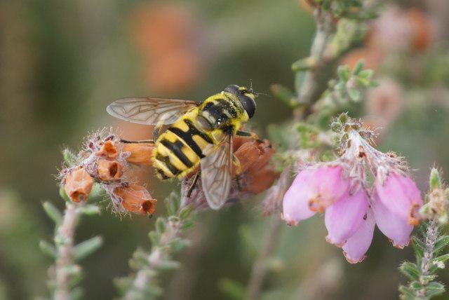 The hoverfly Myathropa florea, Chobham Common