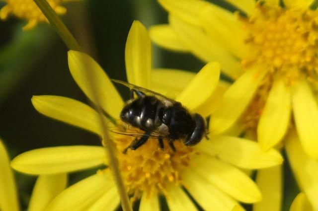 The hoverfly Eristalinus sepulchris, Chobham Common
