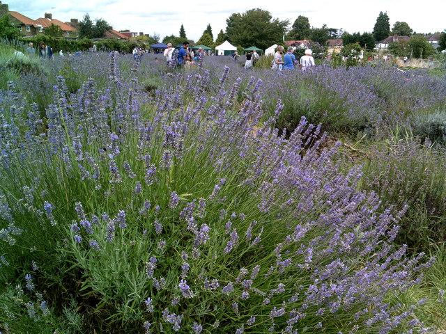 Carshalton Lavender event - summer 2017