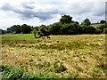 SJ9643 : Horses grazing by Gerald England