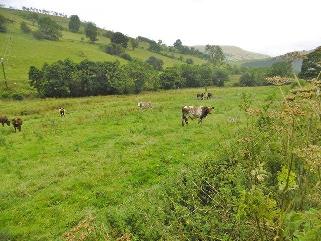 Tynyfron, cattle grazing
