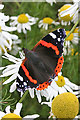 NO6744 : Red Admiral (Vanessa atalanta) by Anne Burgess