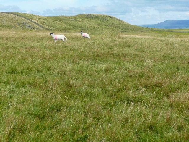 Sheep on Holden Moor, Rathmell