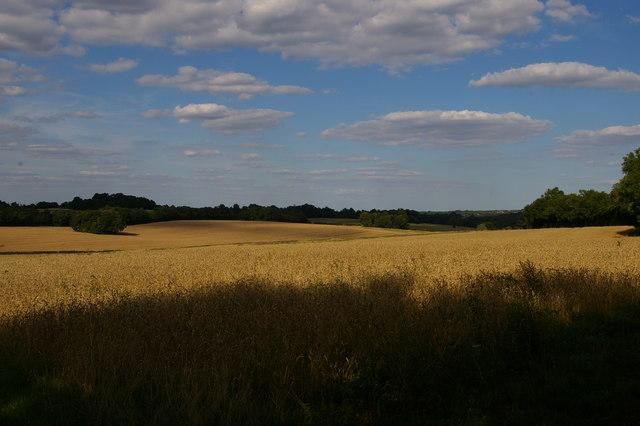 Wheat fields off the London Loop