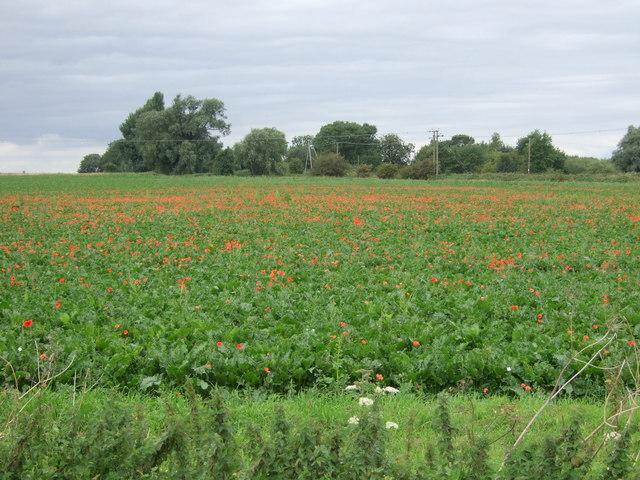 Poppies in crop field, Honey Hill
