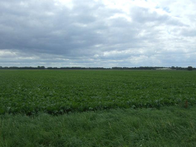 Crop field off Byall Fen Drove