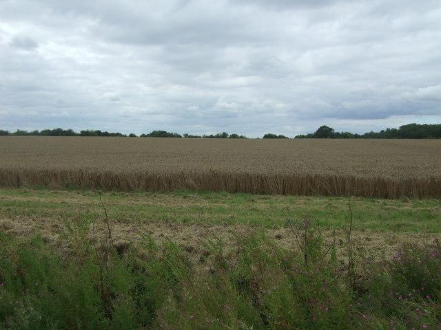 Cereal crop near Hill Farm, Ferry Hill
