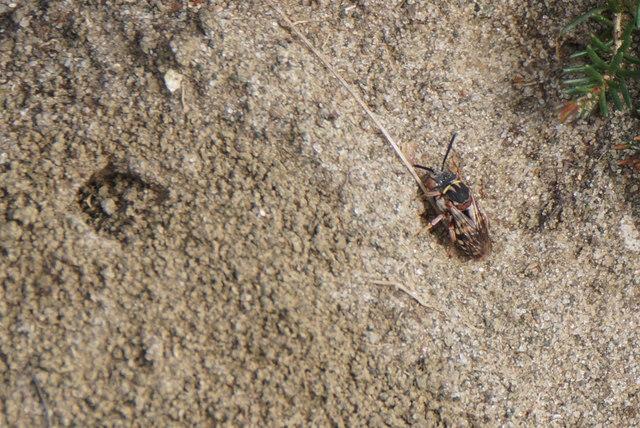 The bee Epeolus cruciger, Chobham Common