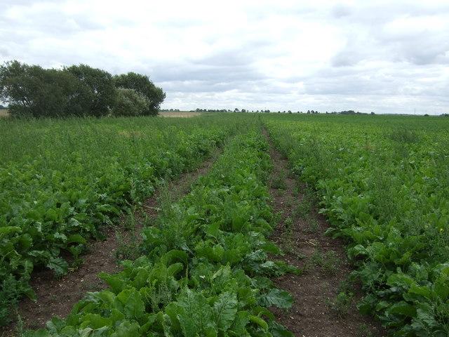 Track through crop field, North Fen