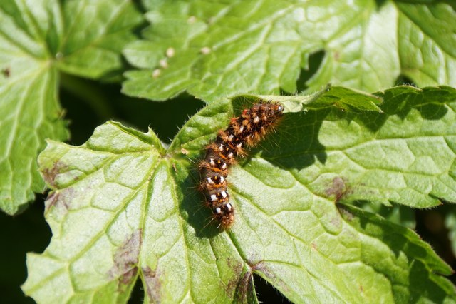 A very hairy caterpillar, Bocketts Farm , Fetcham