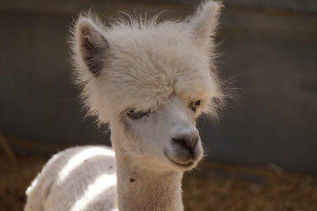 A young alpaca, Bocketts Farm, Fetcham