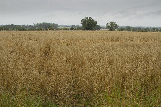 A field of oats