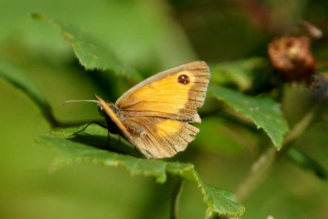 Gatekeeper (Pyronia tithonus), Epsom Common