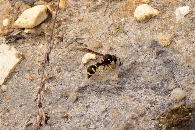 Heath Potter Wasp (Eumenes coarctatus), Chobham Common