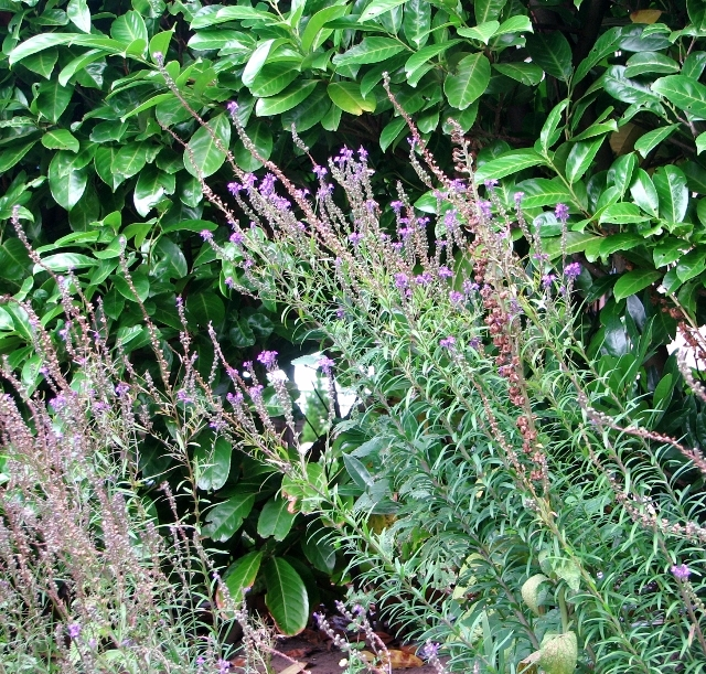 Purple Toadflax (Linaria purpurea) in Shepherd's Lane