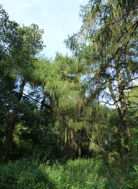 Pines, Golden Acre Park